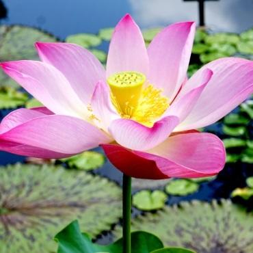 lotus_square